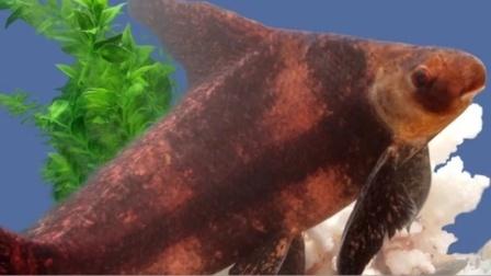"""男子钓""""网红鱼""""食用售卖后被捕,那是国家二级保护动物胭脂鱼!"""