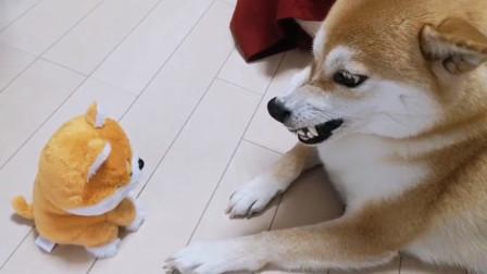 当柴犬遇到和自己一样会叫的网红玩具,当场怀疑狗生,太搞笑了!