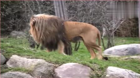 满脸忧郁的老狮王,妻子根本不允许近身,网友:体能不行了!