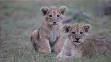 潜入狮群的小型摄像机,小狮子满眼的好奇和天真,太可爱了。