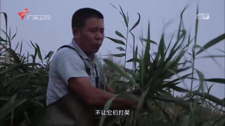 """防止青蟹自相残杀的""""秘密武器""""竟是芦苇"""
