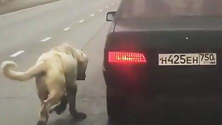 俄罗斯一宠物狗被主人栓在车后拖行 路人报警解救