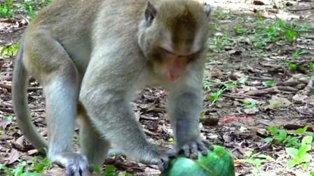 把西瓜挖空,装个别的小动物进去,猴哥打开发现会是什么反应?