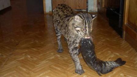 """女子养""""水怪猫"""",每天下河捕鱼,进化出鸭子脚掌"""