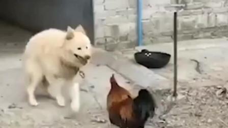 公鸡无缘无故挑衅狗子,结果被摁在地上疯狂摩擦