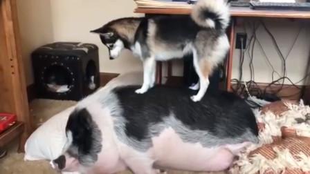 二哈花式叫猪起床,叫醒就开溜,二哈:我怕这体型压死我!