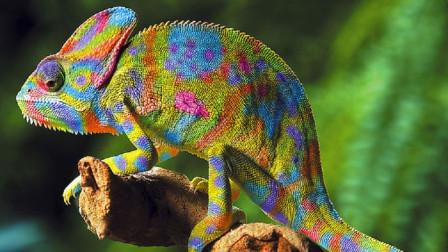 变色龙究竟是怎样变色的?镜头放慢50倍,看完大开眼界!