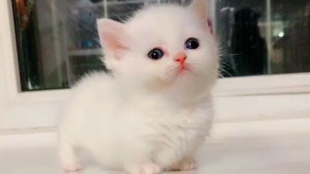短腿曼金奇矮脚猫,小猫咪像棉花糖似的,太可爱了