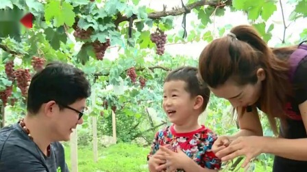 您早 2019 延庆区:葡萄成熟季 采摘正当时