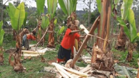 非洲这种假香蕉树,不结果却养活了上万人,看完制作方式你敢吃吗?