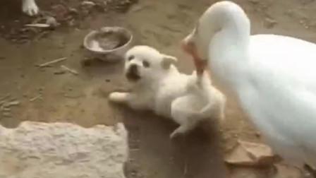 小奶狗被大鹅欺负,可怜巴巴嗷嗷叫,狗妈妈为母则刚!