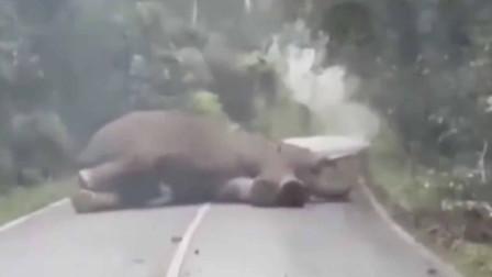 """""""特困""""象走着走着累了 躺倒路中睡觉车辆无法通行"""