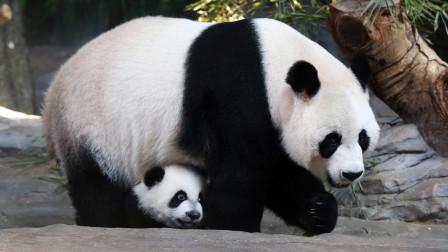 大熊猫正常死亡后,尸体是怎么处理的?方法让人感觉有些残忍