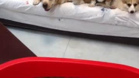 这位铲屎官,你把那么多狗狗放在家里去出差,不怕出什么事情吗