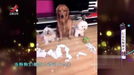 家庭幽默录像:我凭本事干的有什么不好承认,爆笑狗狗拆家后竟举手承认