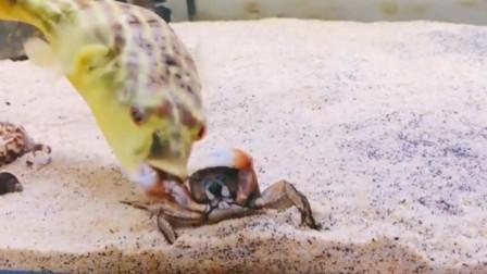 河豚和螃蟹,两个都想吃掉对方,螃蟹先下手占先机