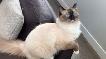 在窗台边发现了一只苍蝇后,布偶猫满屋追着苍蝇跑,太可爱了