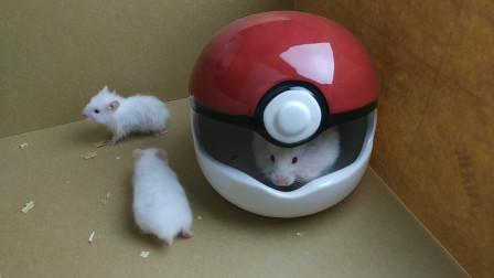 母仓鼠生的12只小仓鼠,死掉了9只,只剩下3只白色的仓鼠了