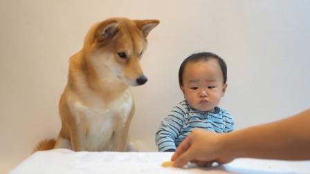 主人把最后一块饼干放在狗狗和宝宝面前 笑喷!