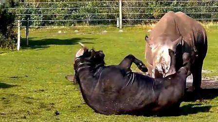 1000公斤的水牛大战2000公斤的犀牛,这绝对是重量级的王者对决!