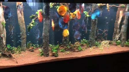 在客厅养这么一缸漂亮的七彩神仙鱼,看完,我猜你会流连忘返!