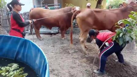 表嫂拉公牛去配種,因母牛太魁梧挖坑協助它,旁邊大叔笑的張大嘴巴