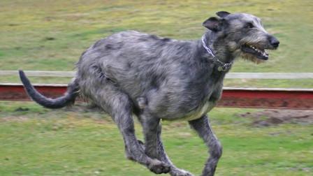 为杀狼而生的爱尔兰猎狼犬狼大老远见到撒腿就跑