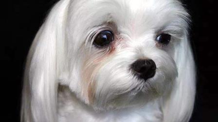 06-宠物知识科普:宠物为什么会有泪痕?泪痕形成的原因以及治疗方法