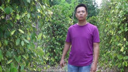 农村小滨采摘胡椒,如何挑选上好胡椒,大家有更好的妙招吗?