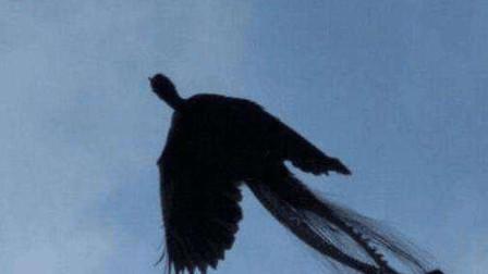 真的有凤凰吗?黑龙江男子拍下一张凤凰照片,究竟是真是假?