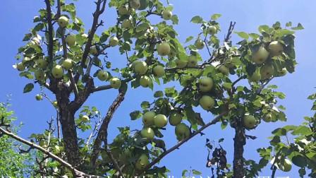 秋天必吃的水果,大人小孩都喜欢