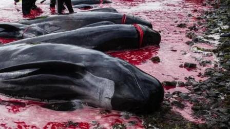 12分钟94头鲸鱼!法罗群岛百头鲸鱼遭屠杀 5头母鲸腹中尚有幼仔