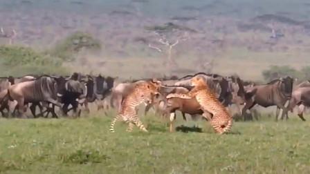 【动物世界】猎豹捕杀角马