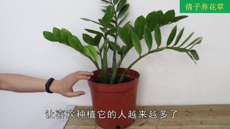 """这种""""水""""制作简单, 拿来浇金钱树, 还能防止烂根发生"""