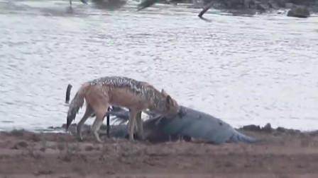 狡猾的胡狼学会掏肛,第一个倒霉竟是鬣狗, 鬣狗根本不敢站起来