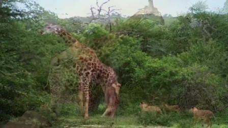 狮群连续撕咬长颈鹿2小时,长颈鹿忍无可忍,发怒将狮群都踢飞了