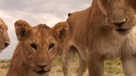 摄影师派出间谍相机,潜入狮子家族,下一秒真是尴尬了