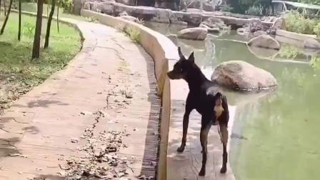 女主人带着鹿犬遛弯,听话的鹿犬像个孩子一样,太可爱啦!