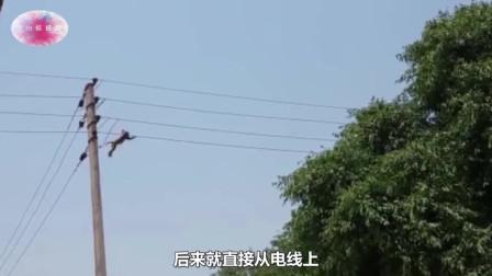猴子爬上高压线,瞬间烧成火猴,全程被路人拍下