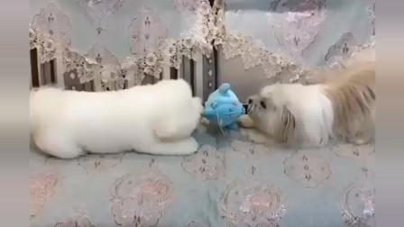 家里只有一个玩具,于是两个小狗开始了拔河比赛