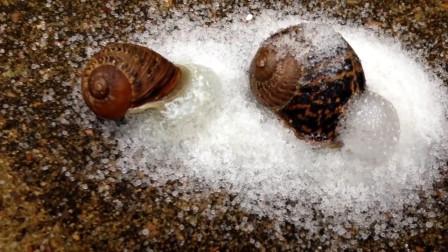蜗牛遇见盐会化成水?小哥不信亲自试验,结果大跌眼镜