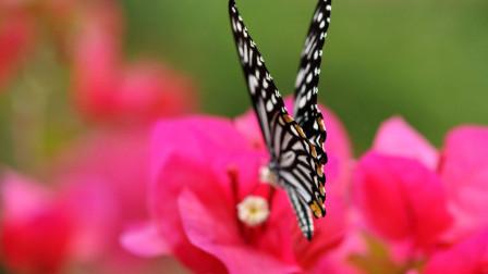 酒醉的蝴蝶(翻唱)