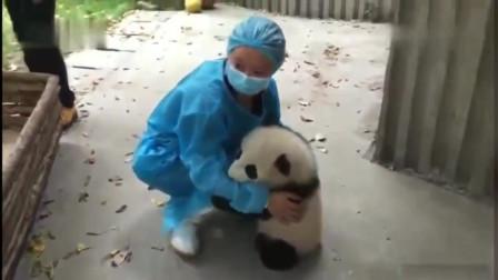 熊猫宝宝太会撒娇了, 一看到奶妈就不撒手