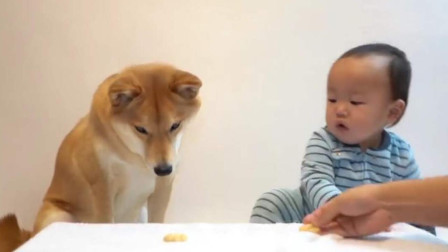 主人把最后一块饼干,放在狗狗和宝宝面前,下一秒请憋住别笑!