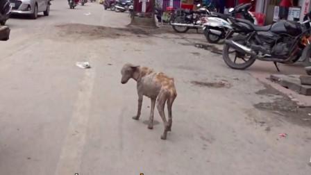 狗狗患病毛发掉光在街上流浪,为摆脱疼痛不断奔跑,已经筋疲力尽