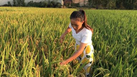 水稻快要收割了,农村媳妇上自家稻田一看,媳妇:又是一个丰收年