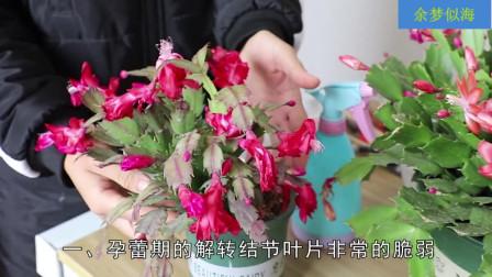 蟹爪兰花期没动静注意这几点, 花朵直接开满盆
