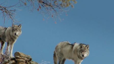 美国黄石公园麋鹿繁殖太快,引进狼群后哟普惨遭灭绝?网友:土狼就是牛!