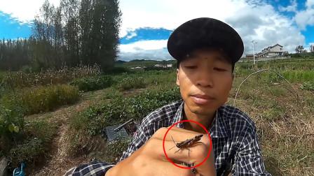 [闪电昆虫]蚂蚱观察记录,谁知道它经历了什么?