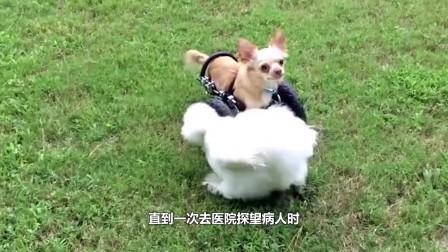 残疾狗狗天生没有前肢,主人给它装了一副轮椅,跑起来好喜感